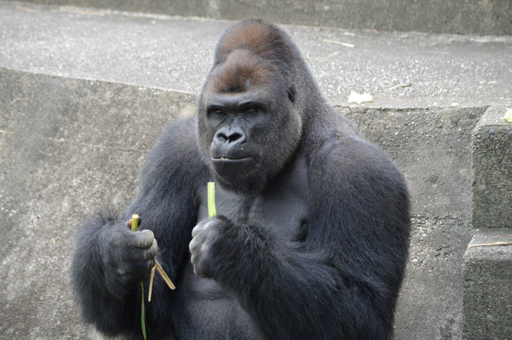 "Shabani is a 18 year old male gorilla at Higashiyama Zoo and Botanical Garden. The ""handsome"" gorilla is super popular with young ladies and families. Zoo officials tell CNN that he got the stardom after the netizens started to tweeting and FBing about his handsome photo used for its spring festival posters in April."