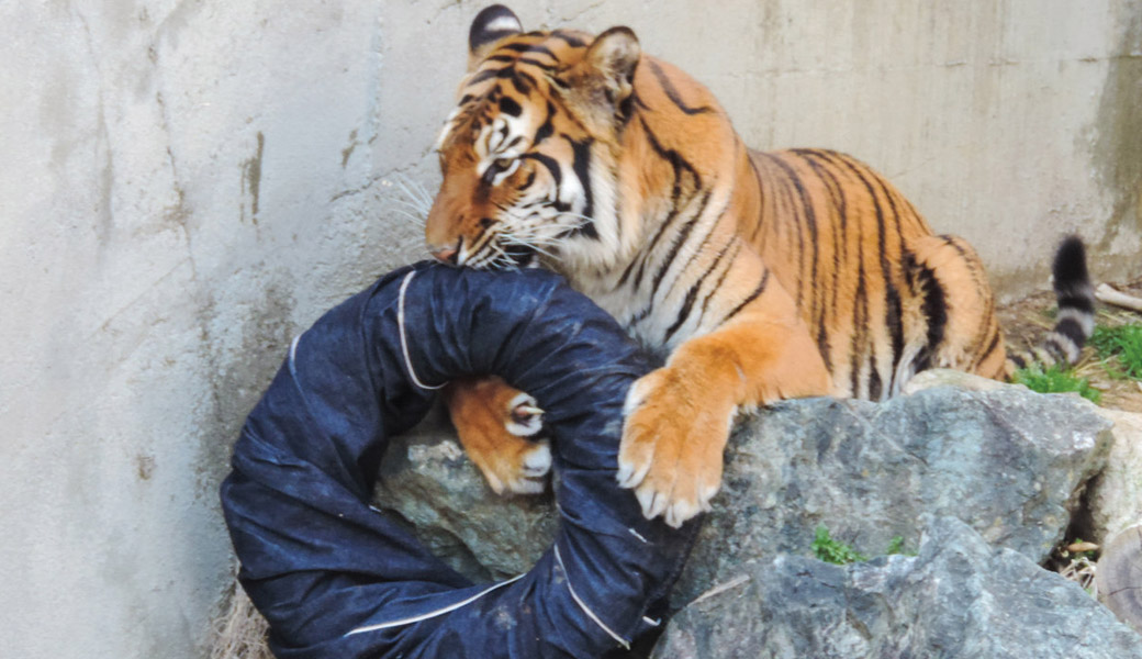 Tiger-Ripped-jeans