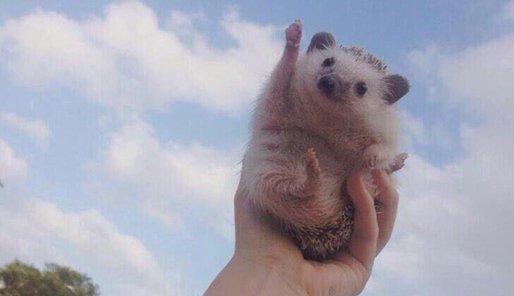 Triumphant-Hedgehog
