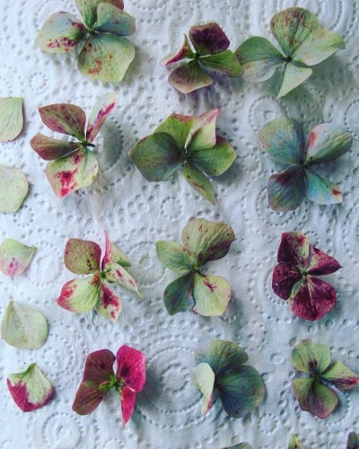 Hydrangea's about to be pressed