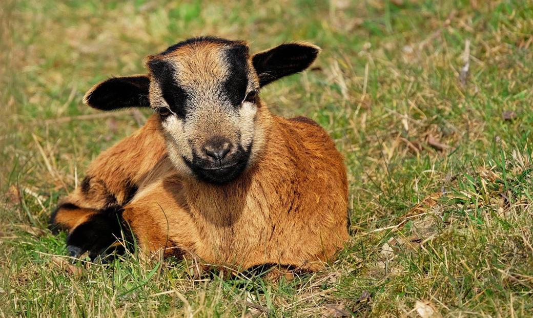 goat-1267666