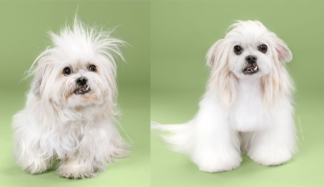 Hairy-green-dog-Before-after-Haircut