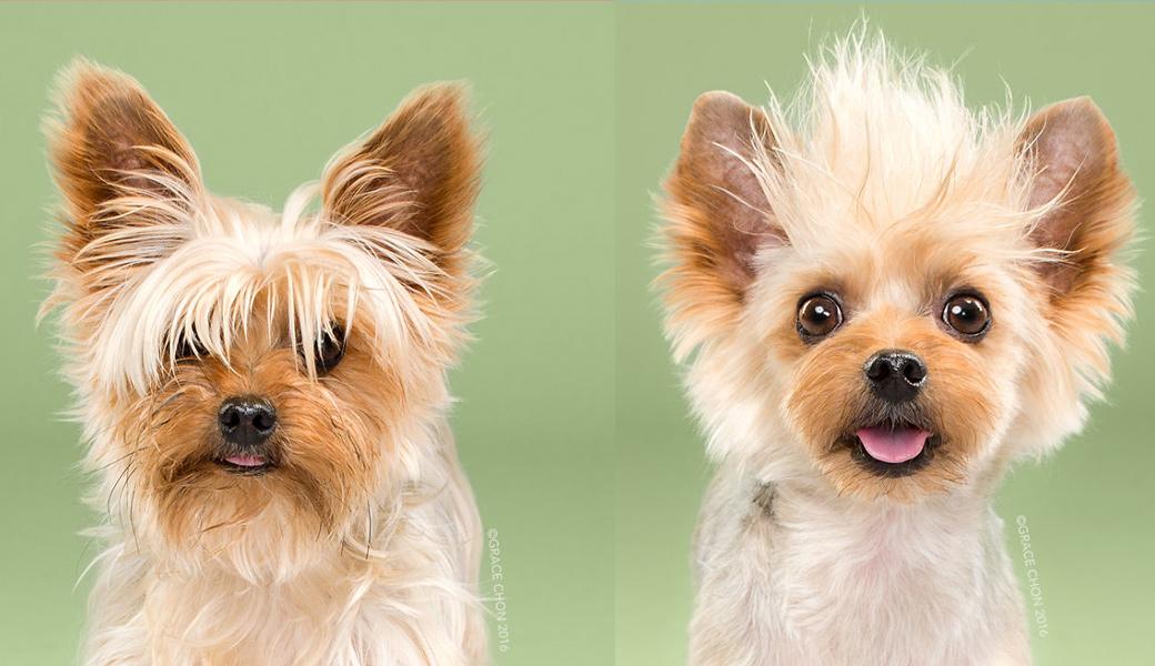 Teddy-Dog-After-Haircut