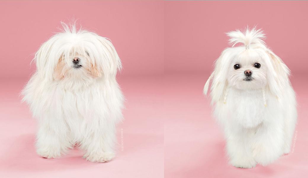 Yuki-Dog-After-Haircut