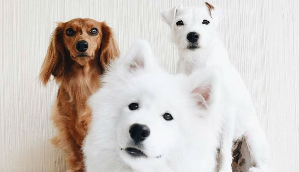 cute-group-of-dogs-white-husky-m2woman