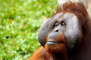 This Oil That Is Hidden In Thousands Of Your Everyday Products Is Pushing Orangutans To Extinction