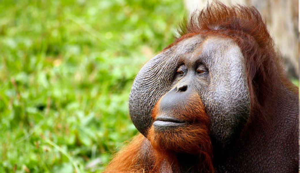 orangutan-m2woman